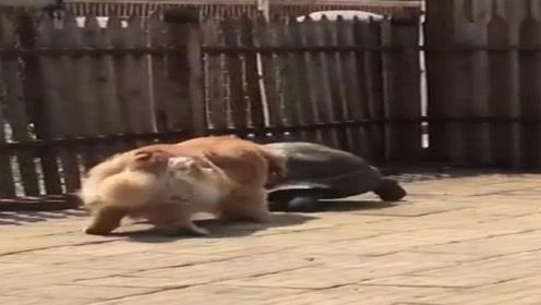 金毛模仿乌龟走路,学得有模有样,网友:这货皮得没边了!