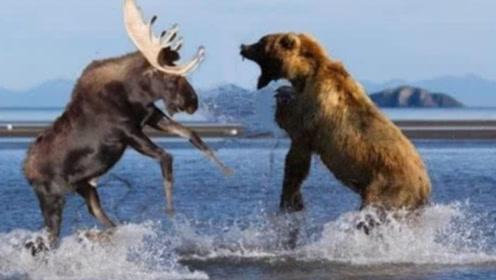 棕熊河中追杀麋鹿,游了十几里精疲力尽,棕熊:累死我了
