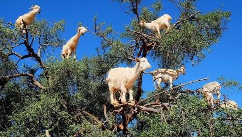 """非洲山羊直接跳上树顶吃东西,能制造""""液体黄金"""",还有很多游客特地去观赏"""