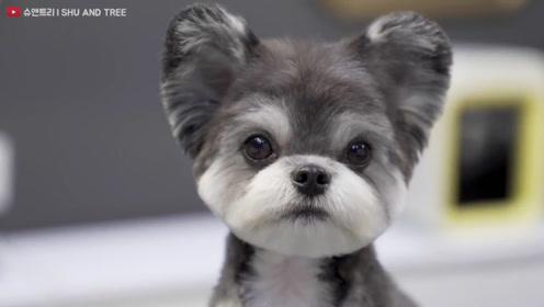 实拍韩国顶级宠物造型师的作品,雪纳瑞在她手里变成了米老鼠!