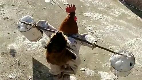 这是谁干的,还让大公鸡挑了一根扁担,估计它现在的内心是崩溃的!