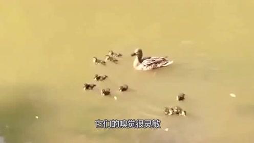 老鼠鼠小胆大,虎视眈眈的盯着小鸭子,鸭妈妈大怒,决定给这家伙一点教训