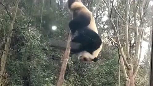 公园熊猫为博关注也是拼了,直接在杆上表演倒空翻,这门票绝对没白买