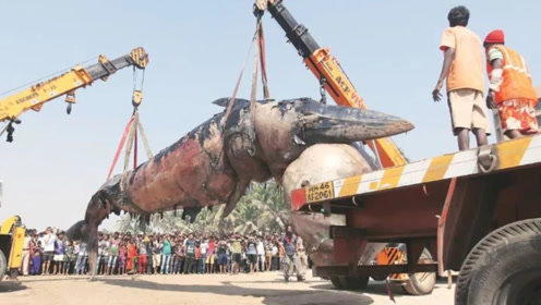 印度如何运输30吨的搁浅鲸鱼?各种设备就位,场面一度失控!