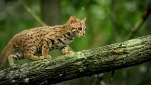 """只有2斤重的小野猫,能放在掌心""""把玩儿"""",而全世界不到1万只"""
