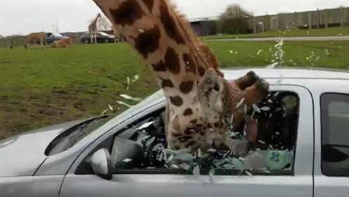 无赖的长颈鹿,拦车抢劫还把车窗弄坏了,镜头记录全过程