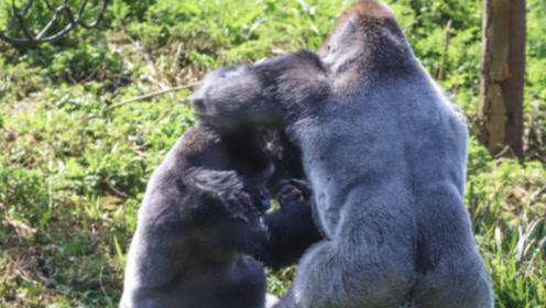 成年大猩猩和凶猛的草原狼对决,谁的胜率更高?