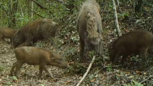 十分罕见!多种珍稀野生动物丛林生活曝光,野猪在林中嬉戏卖萌