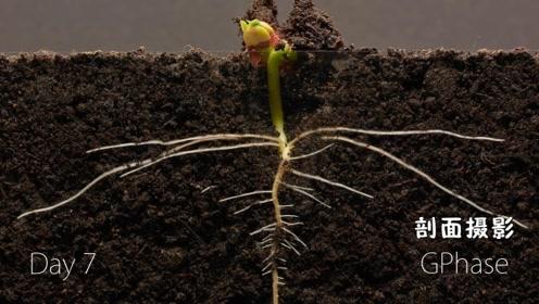 一粒种子是如何发育为一颗植物的?25天剖面摄影告诉你
