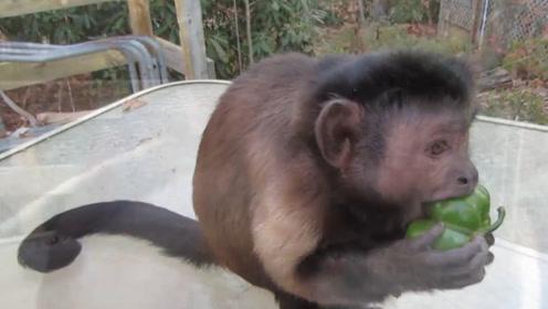 小哥丢给猴子一个辣椒,下一秒猴子摇头晃脑,猴子:这是人能干的出来的