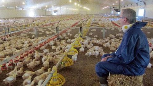 为了肯德基快餐,专门养2300万只肉鸡,这生产线是壮观还是悲惨!