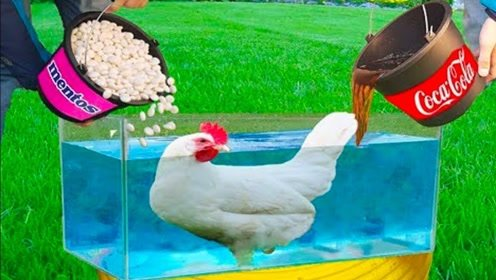 老外将整只鸡放在可乐和曼妥思中,接下来的一幕想都不敢想
