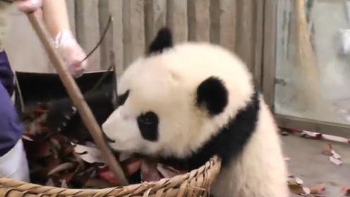 大熊猫看见堆满树叶的垃圾箱,看到它的反应后,忍住别笑