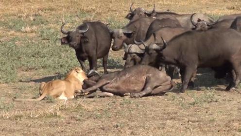 狮子猎杀野牛,正危急时刻,80头野牛前来复仇,场面震撼