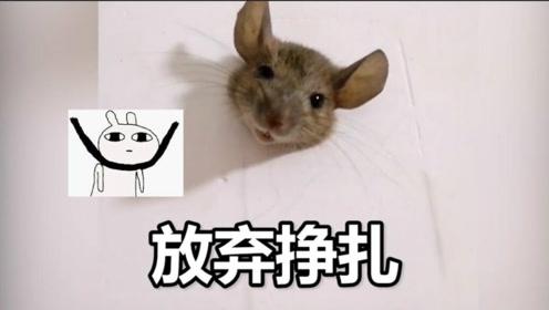 """可爱到膨胀!""""杰瑞""""因太胖被卡墙上 发现者:还以为是个假老鼠"""