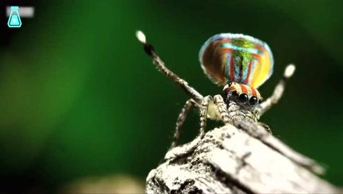 孔雀蜘蛛的爱情,跳不好舞就会被爱人吃掉