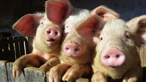 猪价大涨受阻后如何应对?养殖户前途未卜,这个年关难过!