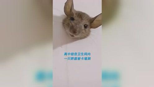 近日 四川泸州 老鼠太胖被卡墙洞不能自拔,学生:它身子太...