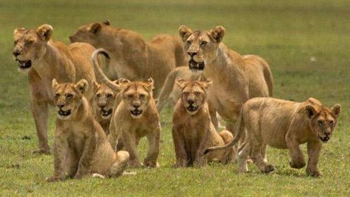 这次的猎物战斗力有点牛,十几头狮子无一幸免都被它干倒了