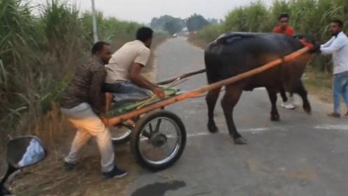 男子坐牛车,手刹一松,3秒破百,不得不说三哥真会玩!