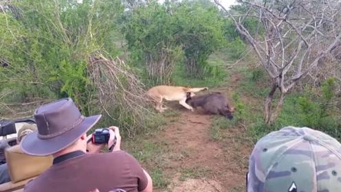 狮子咬住角马喉咙,忍着疼痛站了起来,绝地反击把狮子干了!