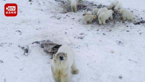 俄罗斯一村庄被56只北极熊包围 气候变化是原因 居民或将永久撤离