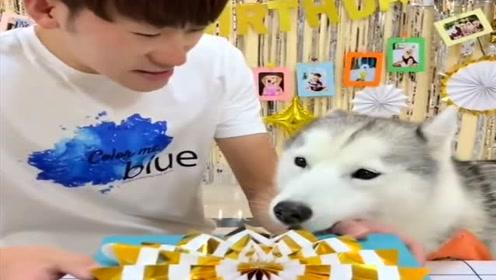 狗狗过生日要吃生日蛋糕,看主人如何对待它的,结局让人捧腹大笑!
