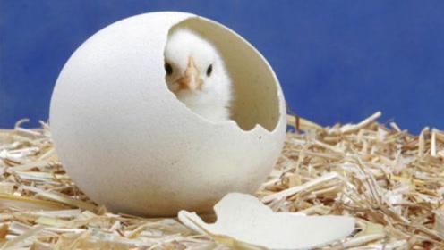 先有鸡还是先有蛋?听完科学家的解释后,答案可能让你意外!