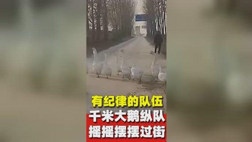 迟到就怨鹅!大鹅排千米长队过马路,汽车等15分钟未过去!