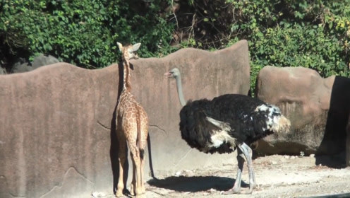 """鸵鸟主动挑衅长颈鹿,不料长颈鹿一个""""后腿踢"""",可惨了!"""