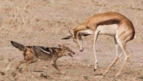 胡狼纠缠不休!羚羊妈妈:不发威你当我是病猫!