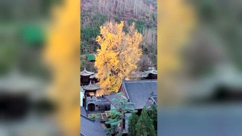 千年银树今还在,不见当年栽树人!银杏树成了这个村落的图腾!