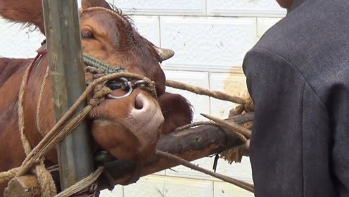 牛鼻子上的鼻环是怎么带上去的?牛鼻本就是相通的么?涨知识了!