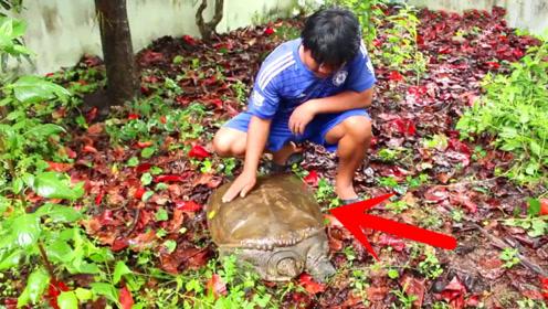一场暴雨后,小伙河边捡到一只30多斤超级大甲鱼,赚大了!