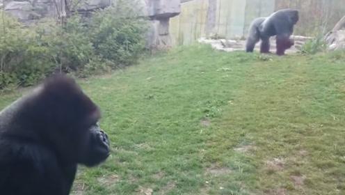 逗比的大猩猩,令人发笑,镜头记录全过程