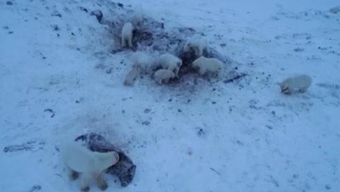 北极圈冰雪消融,56只北极熊跑进俄罗斯村庄,包围起来寻找食物!