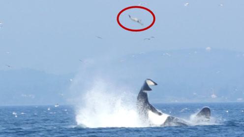 海豹正在海里游泳,下一秒飞来横祸,海豹竟被虎鲸抽到了20米高空