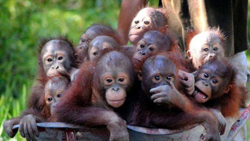 红毛猩猩究竟多聪明?科学家拍下罕见画面,网友:不敢相信!