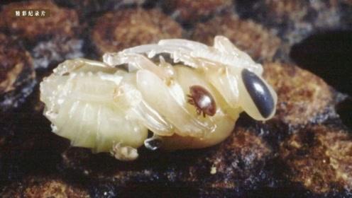 被蜂螨寄生的小蜜蜂可真可怜!新疗法会有效吗?
