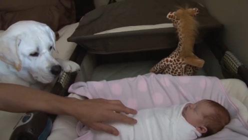 铲屎官生了婴儿,家里的狗狗也很宠爱孩子,这一家真有爱