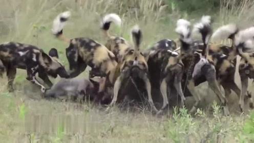 疣猪为救孩子不幸落入狗口,被狗群疯狂撕咬,太可怕了!