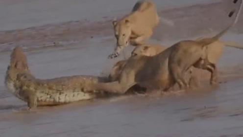 鳄鱼遇到狮子鹿死谁手?前半场还占上风?下一秒令人不可思议
