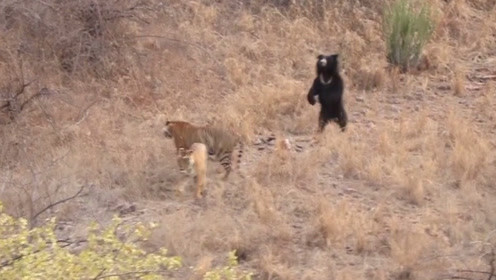 两只老虎捕食一头黑熊,黑熊:你们俩一起上吧,我赶时间!