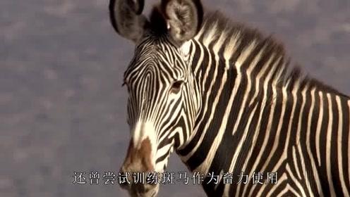 身强体壮跑得快的斑马,为何没被人类驯化,看完长知识了