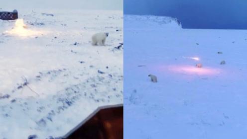 俄罗斯一村庄遭60多只北极熊骚扰 实拍村民发射照明弹驱赶北极熊