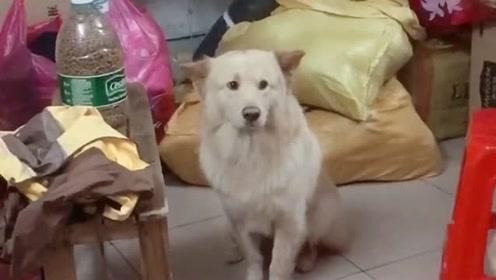 我不过就是收拾一下家里,狗狗就这样看着我,像是要抛弃它一样!