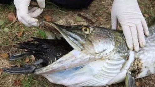 钓鱼钓到这种鱼,千万不能用手取钩,不然你会后悔的!