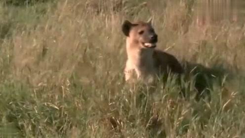 狮子正在上演一场摔跤大战,掏肛狗机智的在旁等待着它们两败俱伤!