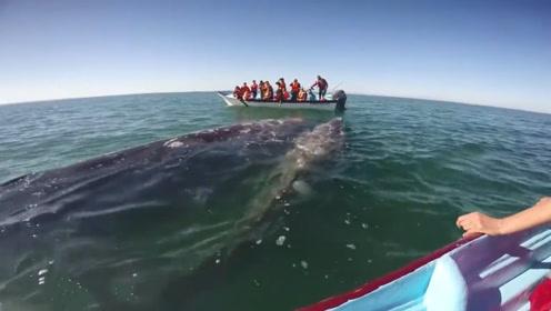 鲸鱼母子向人类求救,看到鲸鱼的身体后,在场的人脸色都青了