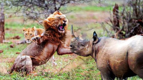 狮子兄弟准备对犀牛下手,不料情况突变!镜头拍下全过程